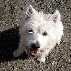 About Dogs - The West Highland White Terrier - In Hand Dogs